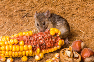 Mouse eating Corn