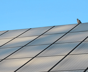 Pigeon on Solar Panel